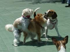 Эрекция у кастрированного пса