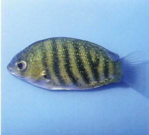 фото аквариумной рыбки Этроплюс полосатый