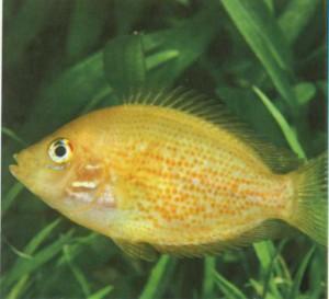 Фото рыбки Этроплюс пятнистый