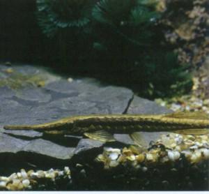 Фарловелла обыкновенная, фото рыбки