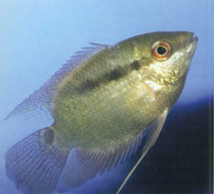 фото рыбки Фестивум