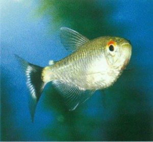 Филомена рыбка, фото