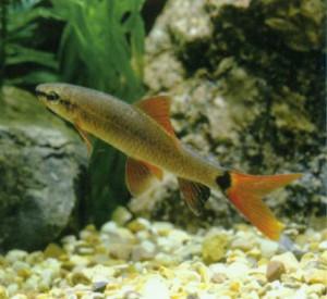 Фото аквариумной рыбки Френатус