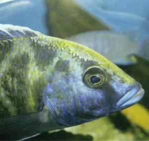 фото рыбки Галлохромис Ливингстона