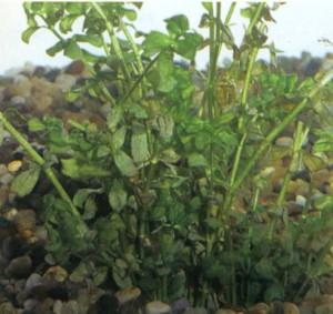 фото растения Гемиантус