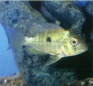 Фото аквариумной рыбки Геофагус Бальзана
