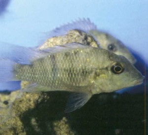фото рыбки Геофагус Штайндахнера