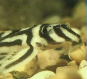 Гипанциструс-зебра, фото