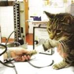 Гипертония у кошек