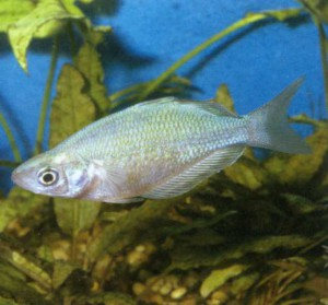 Глоссолепис голубоватый, фото рыбки
