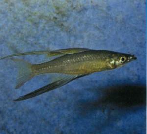 аквариумная рыбка Голубоглазка австралийская, фото