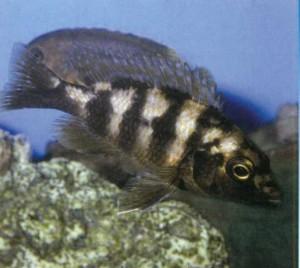 Рыбка Губарь двухполосный, фото