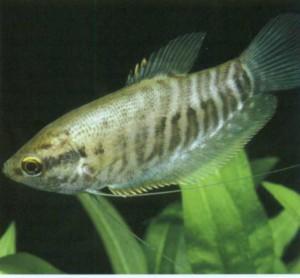 Гурами бурый, фото рыбки