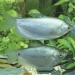 Фото аквариумной рыбки гурами лунный