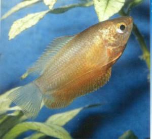 Гурами медовый фото рыбки