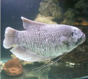 Гурами обыкновенный, фото рыбки
