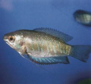 Гурами полосатый, фото рыбки