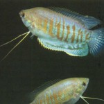 Гурами толстогубый в аквариуме - фото рыбки