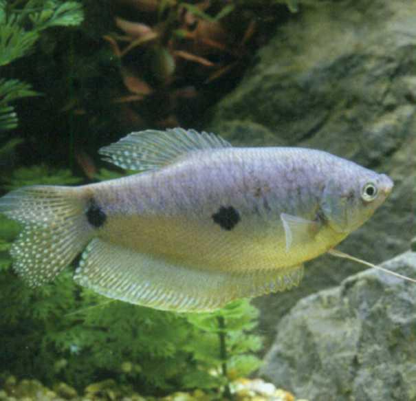 Фото аквариумной рыбки гурами трехпятнистый