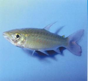 Хальцеус крупночешуйный, фото рыбки