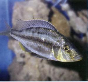 Фото рыбки Хаплохромис длиннорылый