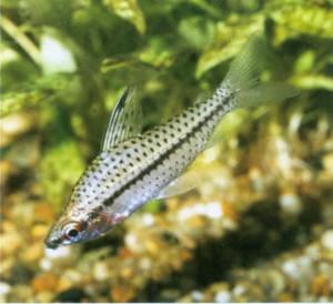 Хилодус пятнистый, фото рыбки