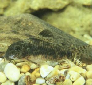 Фото аквариумной рыбки Инколикана