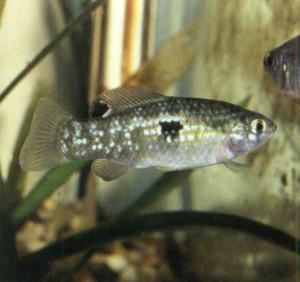 Фото рыбки Иорданелла флоридская