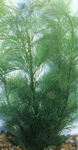 Кабомба Каролинская, фото растения