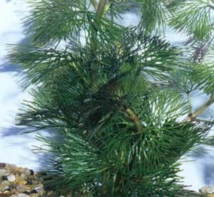 Кабомба палеформис, фото растения