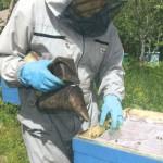 Как предупредить роение пчел