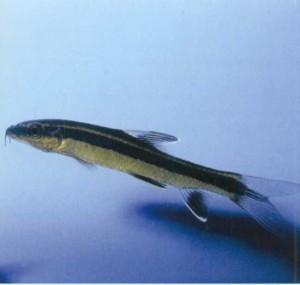 аквариумная рыбка Каллоптерус, фото