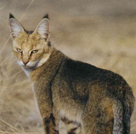 Камышовый кот, фото