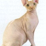 Канадский сфинкс, фото кошки