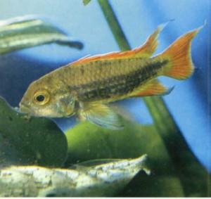 Фото рыбки Карликовая цихлида-какаду