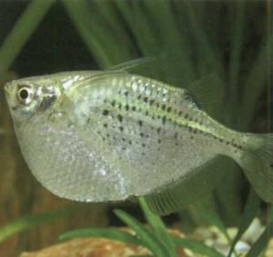 Карнегиелла пятнистая, фото рыбки