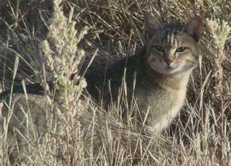 Китайская кошка, фото