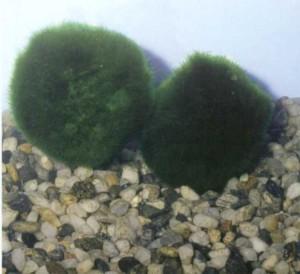 Фото аквариумного растения Каладифолия