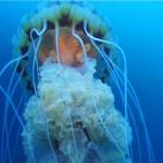 Klass stsifoidnyie meduzyi