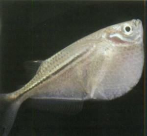 Клинобрюх платиновый, фото рыбки
