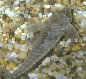 фото рыбки Кнутохвост