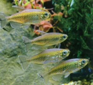 Конго обыкновенный, фото рыбки