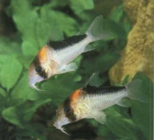 Коридорас Адольфа, фото рыбки