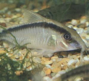 Фото аквариумной рыбки Коридорас арочный