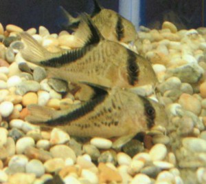 Коридорас-бандит, фото рыбки