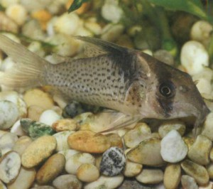 Коридорас черноштриховый, фото рыбки