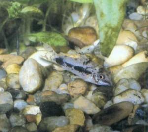 Коридорас карликовый, фото рыбки