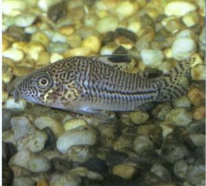 Аквариумная рыбка Коридорас леопардовый, фото