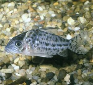 Коридорас пятнистый, фото рыбки