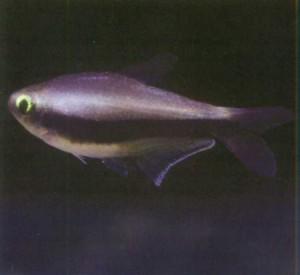 Королевская тетра, фото рыбки